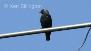 Jackdaw (Corvus monedula) (10)