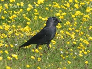Jackdaw (Corvus monedula) (11)