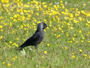 Jackdaw (Corvus monedula) (12)