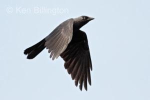 Jackdaw Corvus monedula