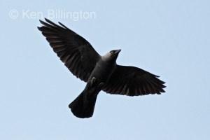 Jackdaw (Corvus monedula) (14)