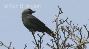 Jackdaw (Corvus monedula) (2)