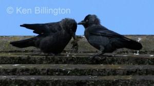 Jackdaw (Corvus monedula) (3)