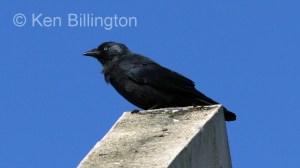 Jackdaw (Corvus monedula) (4)