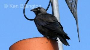 Jackdaw (Corvus monedula) (6)