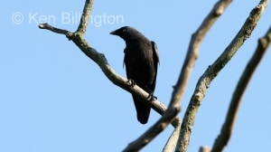 Jackdaw (Corvus monedula) (7)