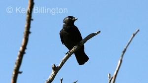 Jackdaw (Corvus monedula) (8)