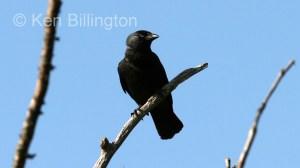 Jackdaw (Corvus monedula) (9)