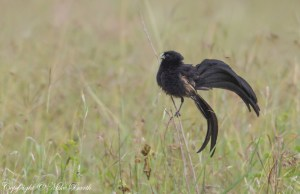 Jackson's Widowbird Euplectes jacksoni