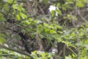 Japanese Paradise Flycatcher (male) on Nest