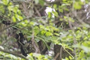 Japanese Paradise Flycatcher Terpsiphone atrocaudata
