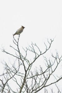 Japanese Waxwing (Bombycilla japonica)