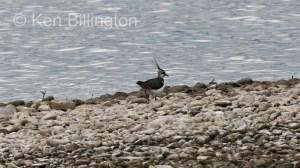 Northern Lapwing (Vanellus vanellus) (05)
