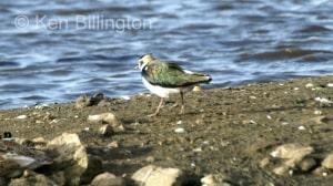 Northern Lapwing (Vanellus vanellus) (06)