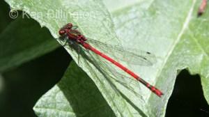 Large Red Damselfly Pyrrhosoma nymphula