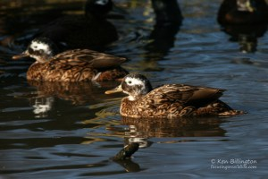 Laysan Duck (Anas laysanensis) (2).jpg