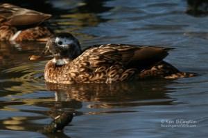 Laysan Duck Anas laysanensis