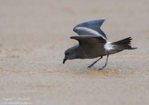 Leach's Storm-petrel Hydrobates leucorhous