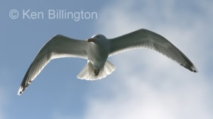 Lesser Black_backed Gull (Larus fuscus)
