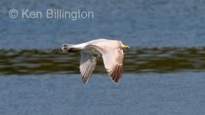 Lesser Black_backed Gull (Larus fuscus) (8)