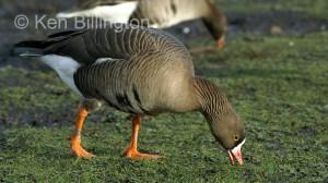 Lesser white fronted goose (Anser erythropus) (1).JPG