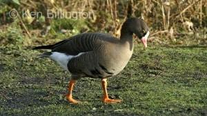 Lesser white fronted goose (Anser erythropus) (3).JPG