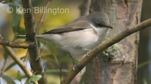 Lesser Whitethroat (Sylvia curruca) (2)