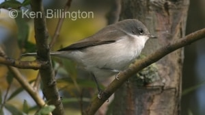 Lesser Whitethroat (Sylvia curruca) (3)