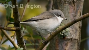 Lesser Whitethroat (Sylvia curruca) (4)