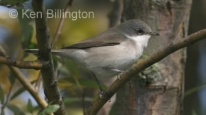 Lesser Whitethroat (Sylvia curruca) (5)