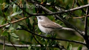 Lesser Whitethroat (Sylvia curruca) (6)