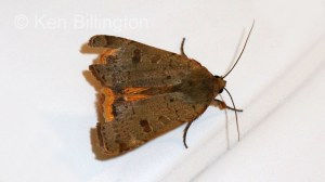 Lesser-Yellow-Underwing-