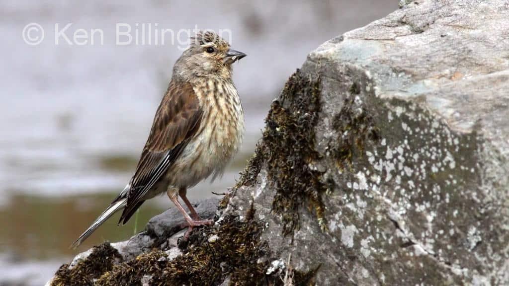 Linnet Carduelis Cannabina Focusing On Wildlife