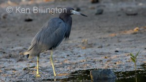 Little Blue Heron Egretta caerulea