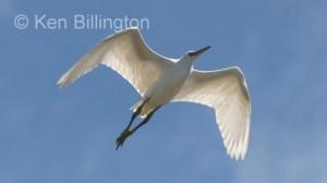 Little Egret (Egretta garzetta) (05)
