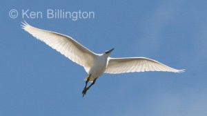 Little Egret (Egretta garzetta) (06)