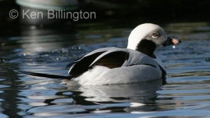 Long-tailed Duck (Clangula hyemalis) (01).jpg