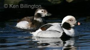 Long-tailed Duck (Clangula hyemalis) (2).jpg