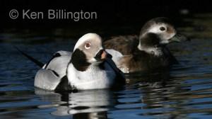 Long-tailed Duck (Clangula hyemalis) (3).jpg