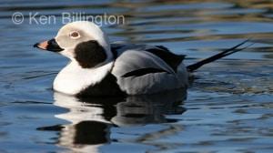 Long-tailed Duck (Clangula hyemalis) (4).jpg