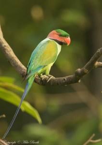 Long-tailed Parakeet Psittacula longicauda