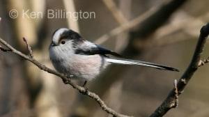 Long-tailed Tit (Aegithalos caudatus) (4)