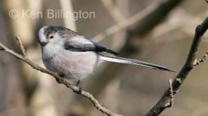Long-tailed Tit (Aegithalos caudatus) (6)