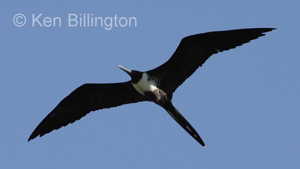 Magnificent frigatebird range - photo#7