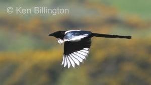 Black-billed Magpie Pica pica