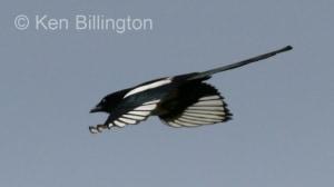 European Magpie (Pica pica) (4)