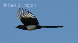European Magpie (Pica pica) (5)