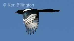 European Magpie (Pica pica) (7)