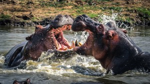 Hippo War