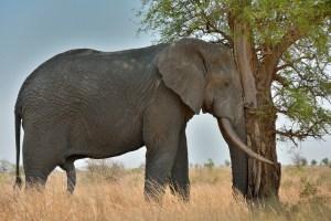 Double Trunk Elephant